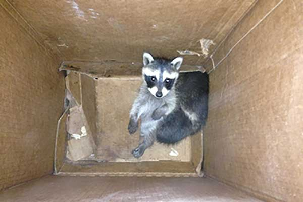 Raccoon-in-Box