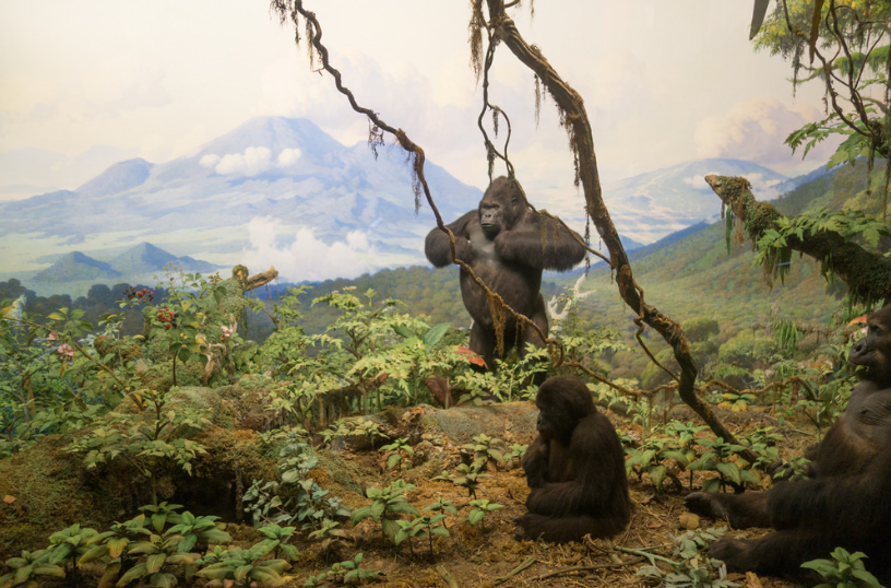 Extreme Conservation Measures Save Mountain Gorillas from Extinction