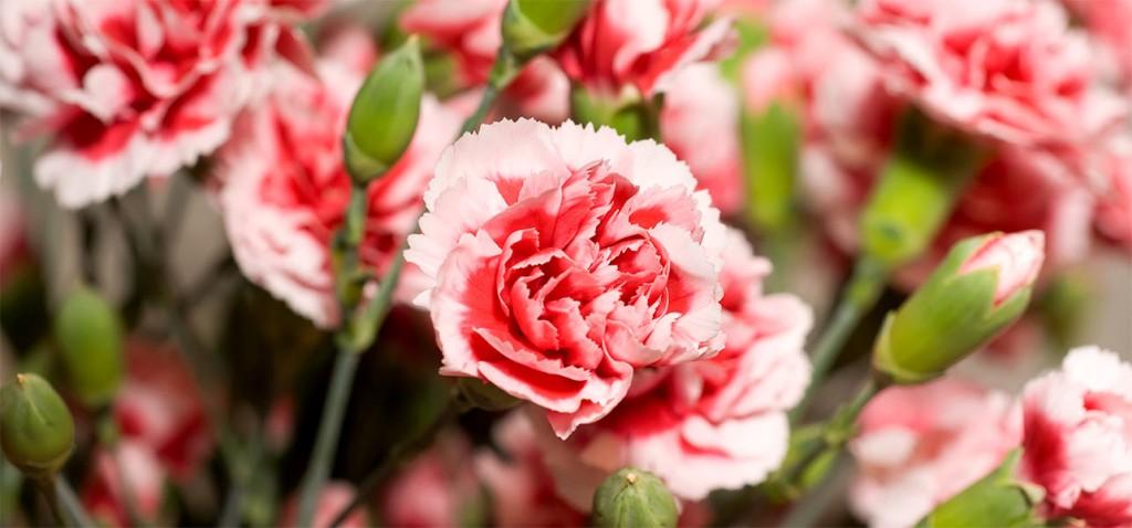 6916_7-Most-Beautiful-Carnation-Flowers