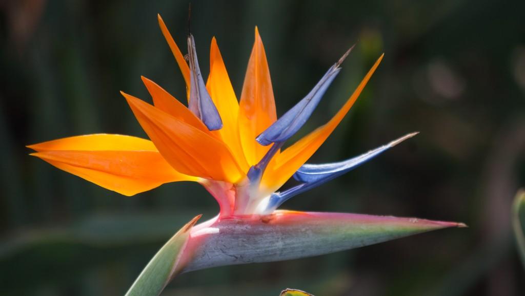 Bird-Of-Paradise-Flower-6