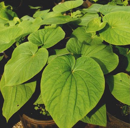 All You Need To Know About Kava Herbal Extracts